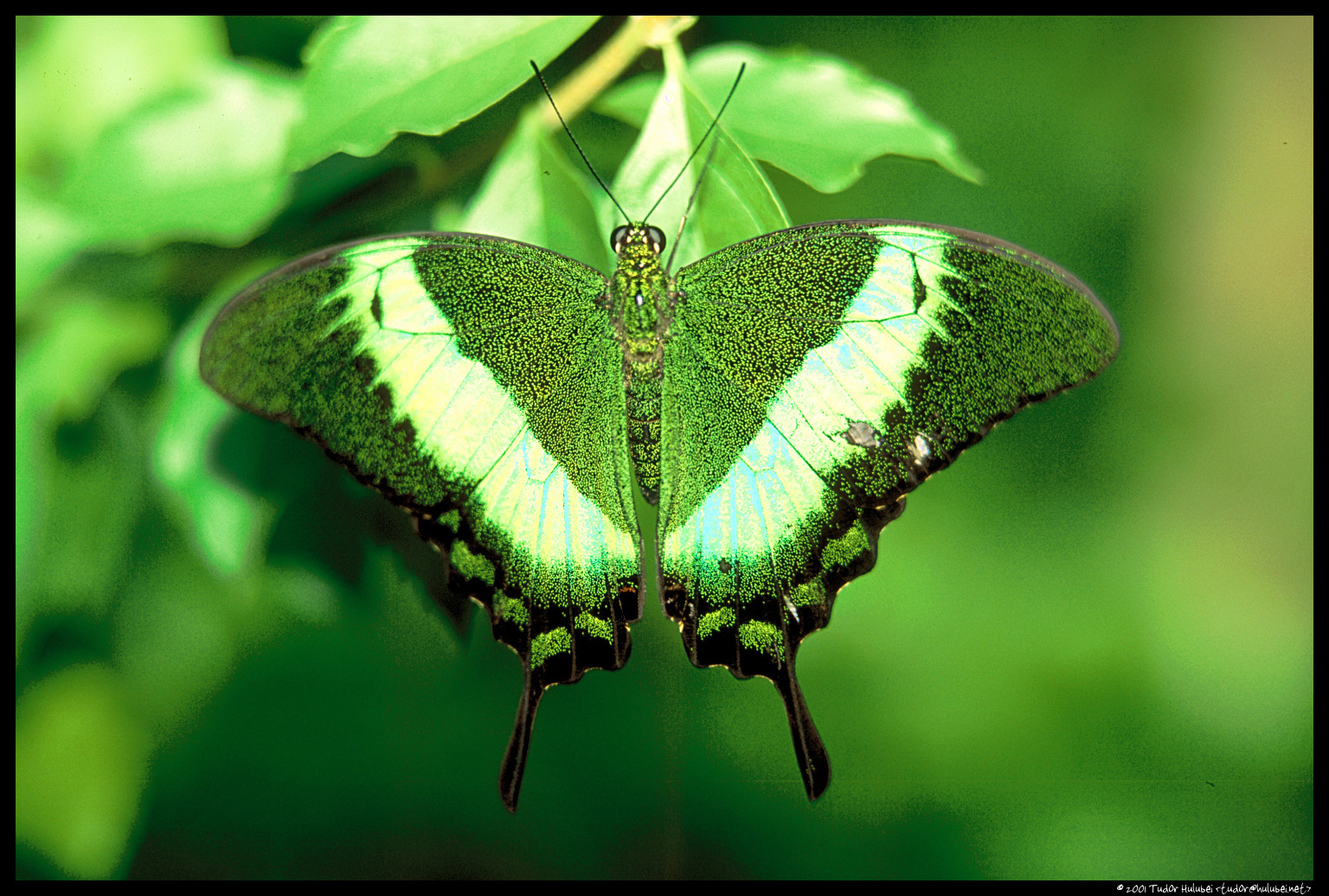 Butterfly photos: Green Butterfly