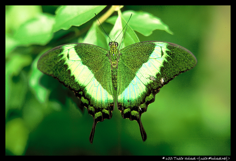 Green butterfly; (Click for next photo)